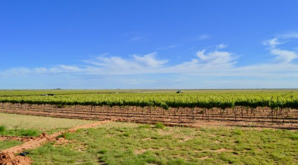 Buena Suerte Vineyards