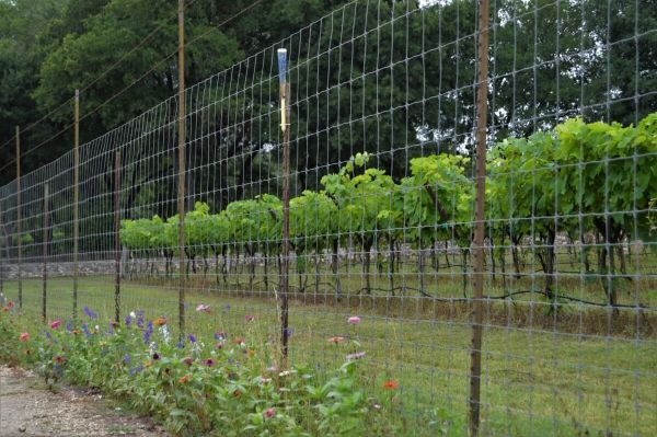 Dry Comal Creek Vineyard