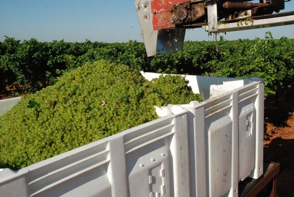 Freshly harvested Albariño grapes from Castaño Prado getting ready to head to McPherson Cellars