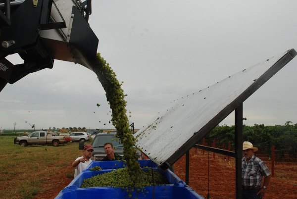 Steve Newsom and Nick Seaton look over some freshly harvested grapes at Farmhouse Vineyards
