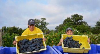Messina Hof harvesting grapes