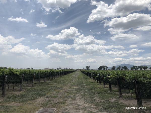 Part of the vineyard at De Cote