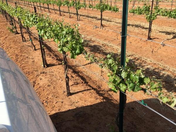 Texas High Plains vineyard in the early spring as shoots begin to grow