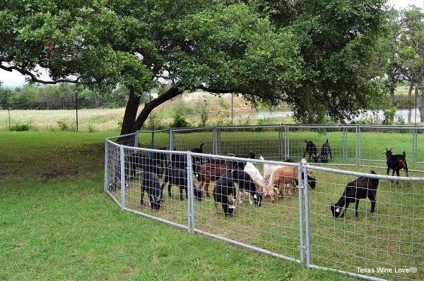 Hog and Goat Roast goats