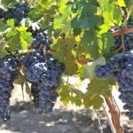 Carter Creek Winery Resort & Spa to Plant 7 Acre Vineyard of Pierce's Disease Resistant Vines