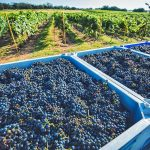 An Update on the 2021 Texas Grape Harvest