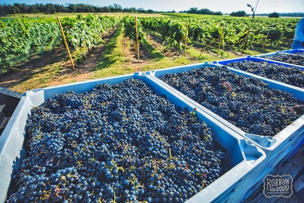 2021 Texas Heritage Vineyard Mourvedre Harvest