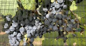 Grapes at Sandy Road Vineyards