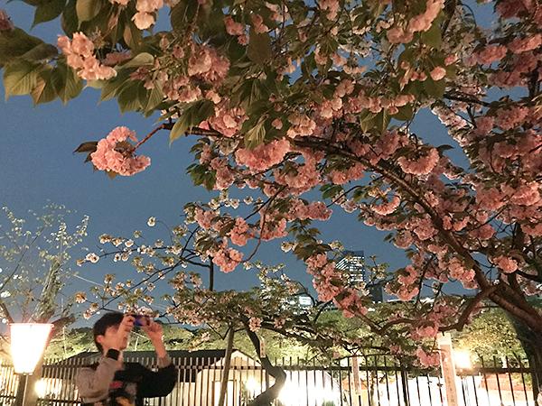 思わずカメラを向けたくなる美しい桜。ソメイヨシノよりもボリュームがあり色が濃い。