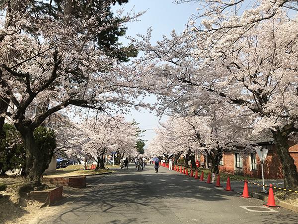 桜並木はソメイヨシノが中心。宇治川の堤防まで、一直線に1.5kmの桜並木が続きます。