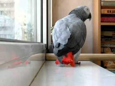 Минута славы: попугай перепел песню Ани Лорак и набрал более 1 миллиона просмотров