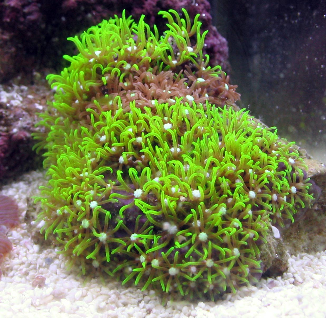 green star polyup coral