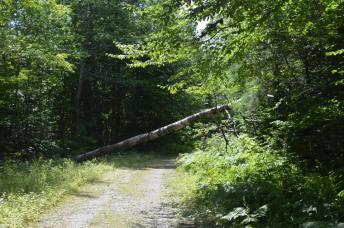 Fallen birch tree.