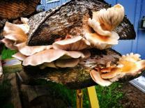 Oyster mushrooms_4