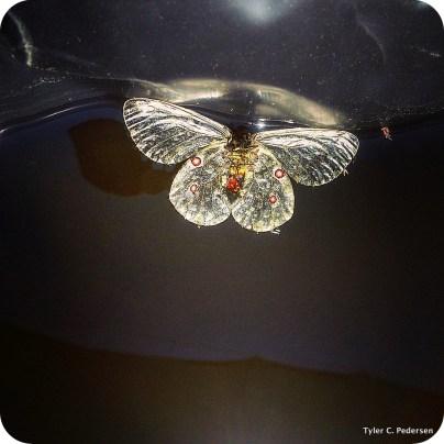 Phoebus Parnassian butterfly