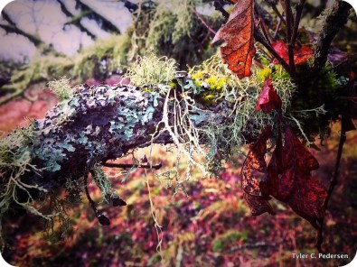 Lichens draped over an old oak