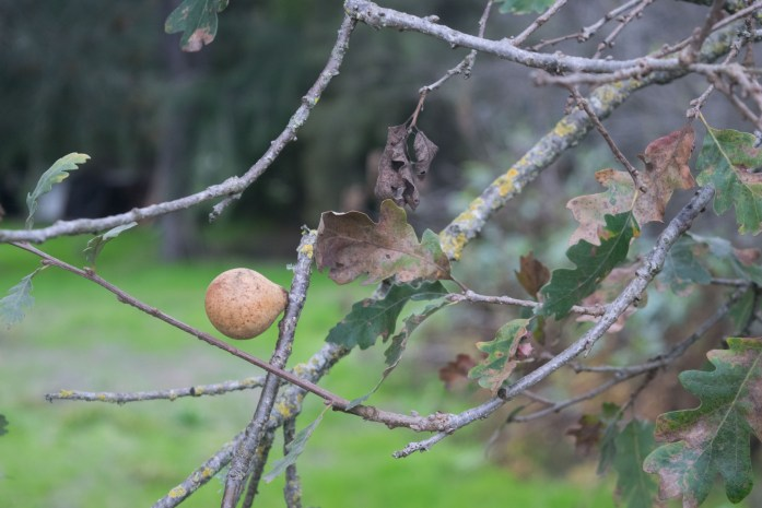 Oak Gall | FishwifeWrites | Resting Season