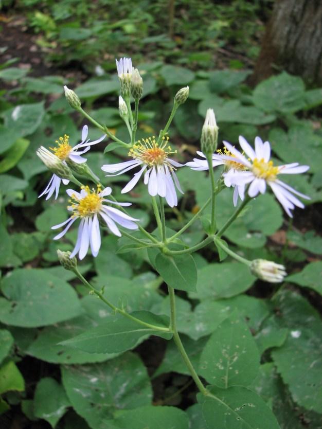 Eurybia macrophylla (Aster macrophyllus)