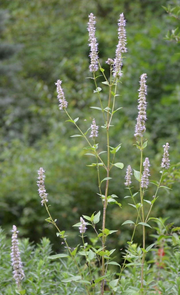 Agastache scrophularifolia