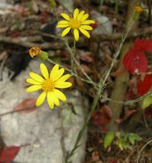 Chrysopsis mariana, Heterotheca mariana