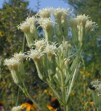 Brickellia eupatorioides (Kuhnia eupatorioides)