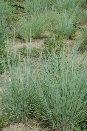 Schizachyrium scoparium (Andropogon scoparius)