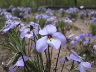 Viola pedata