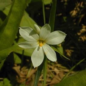 Sisyrinchium albidum