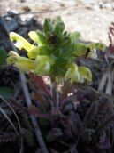 Pedicularis canadensis
