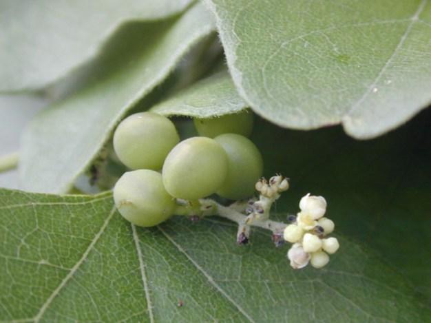 Cocculus carolinus