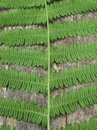 Woodsia obtusa