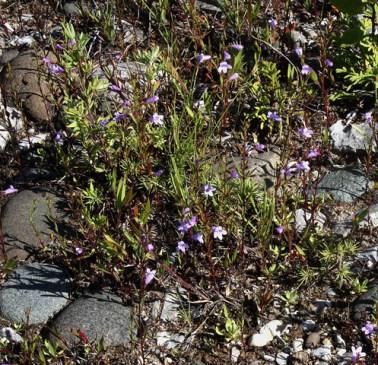 Clinopodium arkansanum (Calamintha arkansana)