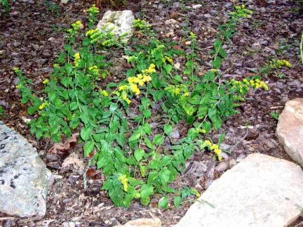 Solidago rugosa ssp. aspera (S. drummondii)