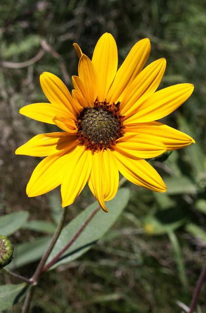 Photo Courtesy of Lady Bird Johnson Wildflower Center http://www.wildflower.org/