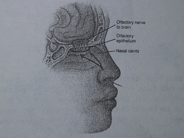 structure of the nose