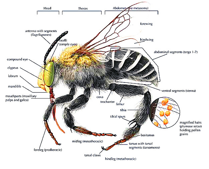 Bee Anatomy Diagram  Types Of Bees