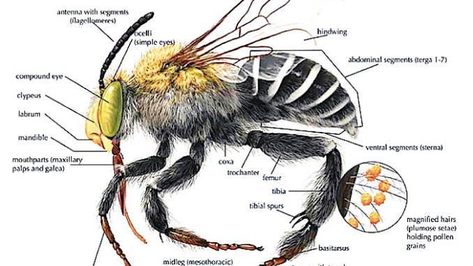 bee anatomy diagram
