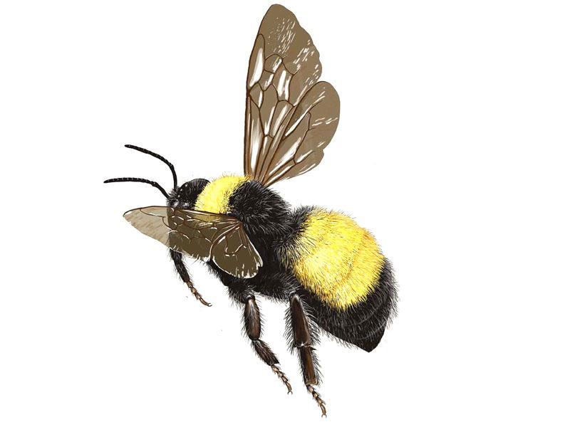 bumble-bee-bombus-pensylvanicus