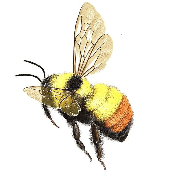 bumble-bee-bumbus-rufocinctus