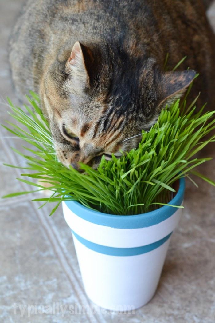 DIY Cat Grass Pots