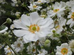 0304. Japanese Anemone (Copy)