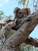 070. Koala bear on Raymond Island