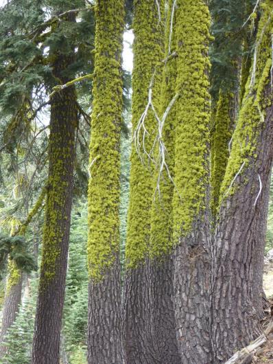 155. Mossy trees