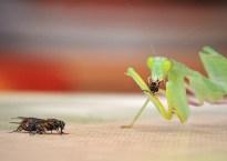 praying-mantis-711693_640