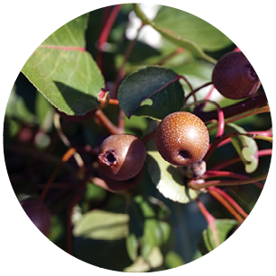 This image has an empty alt attribute; its file name is Bradford_Pear.jpg