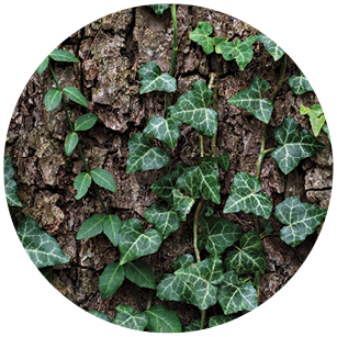 This image has an empty alt attribute; its file name is English_Ivy.jpg
