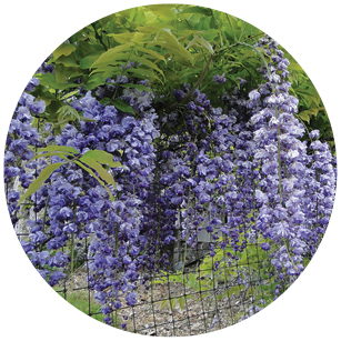 This image has an empty alt attribute; its file name is Wisteria_sinensis.jpg