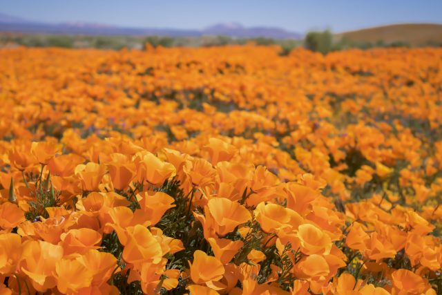 Close up field of bright orange poppy wildflowers low angle in California desert.
