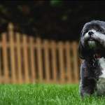 Tzu Zoo Rescue Adopt Shih Tzus And Lhasa Apsos Adopt A Dog