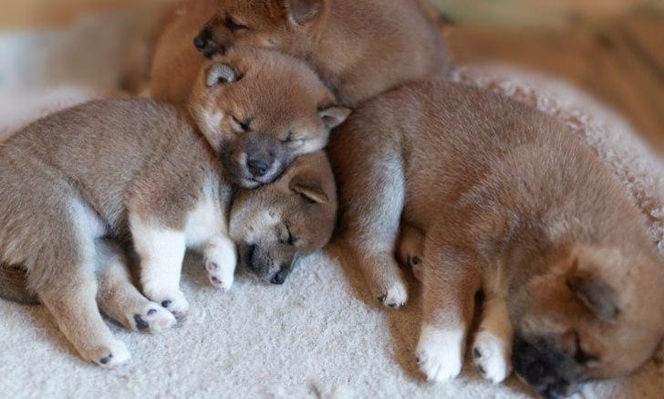 お眠りする柴犬の子犬